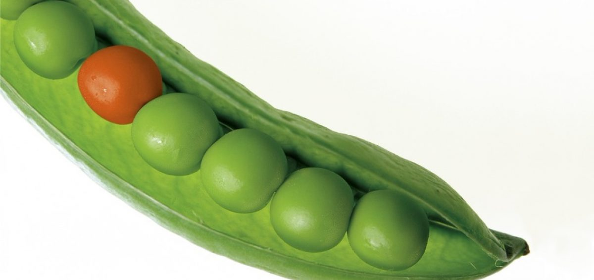 An orange pea in a pod of green peas standing out from the crowd
